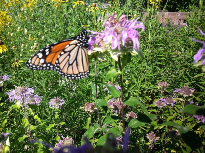 A Monarch Butterfly visiting a Bergamot plant in our patio garden.